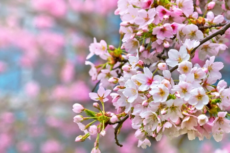 Spring branches - pretty, scent, beautiful, spring, fragrance, sky, freshness, tree, blossoms, nature, flowering, blooming, branches, pink