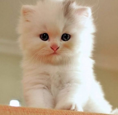 Gorgeous Kitty - cute, kitty, beautiful, face, white