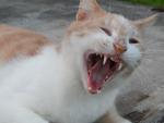 Yawn cute cat