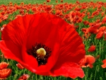 Sing a Song of Poppies