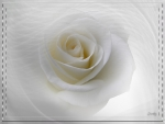 White Rose Blanche