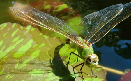 Flying Dragonfly on Pond - pond, pretty, dragonflies, flying, bugs, nature, beautiful