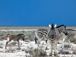 African Zebras with Colt