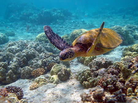 Reef Turtle - ocean, coral reef, hawaii, turtle