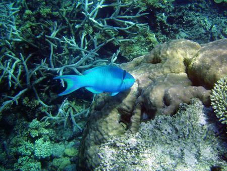 Great Barrier Reef Fish - australia, coral reef, blue fish, ocean floor