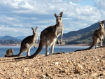 Kangaroos on a Beach