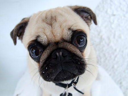Pug - lovely, lovely eyes, puppies, pugs, pug, eyes, dogs, puppy, dog