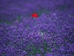 Red poppy in a lavender fields