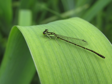 Damselfly - bugs, damselfly, nature, insects