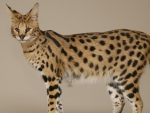 Serval Savannah Cat