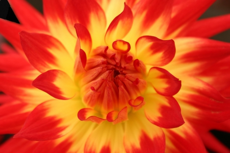 Flame Dahlia - red, orange, red dahlia, yellow, natura, flowers, varigated, single flower, dahlia