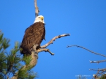 Eagle Elegance