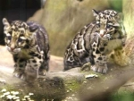 Formosan clouded leopard cubs