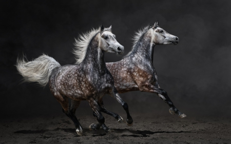 Horses  - black, horse, couple, animal