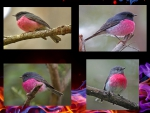 Pink Robin _collage