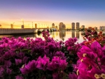 Beautiful bougainvillea on the west palm beach