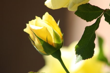 A Single Yellow Rose Flowers Nature Background Wallpapers On