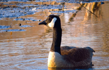 Sitting Pretty in a Muddy Swamp - mud, goose, swamp, animal, pond, geese, waterfowl, water, duck, nature, blue