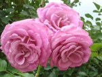 Large Pink Roses