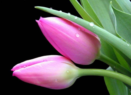 Lovely Pink Tulips Flowers Nature Background Wallpapers On