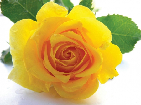 Stunning Yellow Rose Flowers Nature Background Wallpapers On