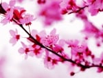 Beautiful pink spring blossoms