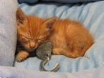 kitten with toy mouse
