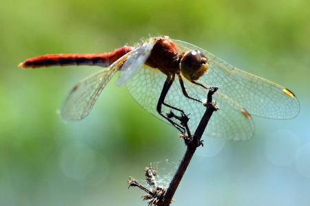 red dragonfly - a, twig, sits, on