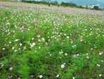 Field of Flowers _Tawain