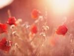 Sunset in poppy field