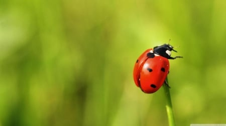 The brave ladybug - grass, bugs, HD, spring, abstract, cute, ladybug, photography, green, wallpaper, macro, nature, field, animals