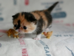 tiny kitty with toys