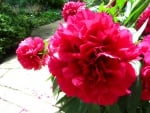 Lovely Red Peonies