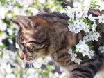 kitty in a spring blossoms