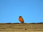 Robin on the Rooftop