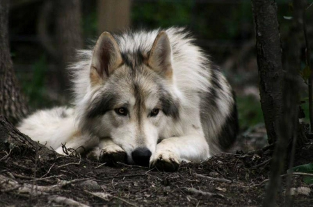 Wolf at rest - nature, Wolf, animals, Rest