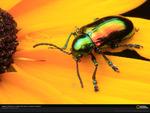 Dogbane leaf beetle - Permian