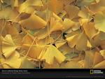 Ginkgo leaves - Permian