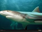 reef tip shark - Carboniferus period