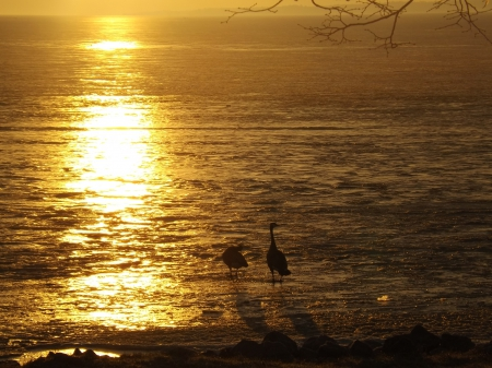 together in the sun - geese, water, sunrise, canadian geese, reflection