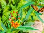 Monarch Butterfly!