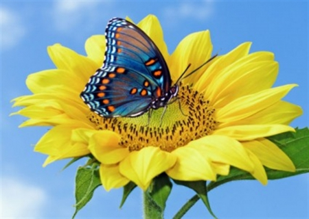 Butterfly and a Sunflower - annual, orange, yellow, design, ecosystem, beautiful, sunflower, moth, butterfly, summer, nature, season
