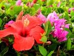 Hibiscus and Boganvelia