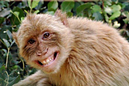 monkey - beige, smiles, brown, green