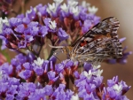 Butterfly on the Purple Flowers