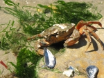 Crab on a Rock with Shells