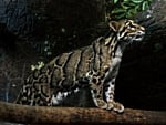 (Formosian) clouded leopard