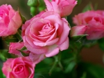 ~$~ Love Pink Roses ~$~ :)