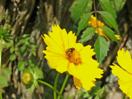 Yellow Hover Bee - Nature, Bees, Animals, Flowers, Bugs, Beauty, Pretty, Lovely Flowers, Natural, Photographers
