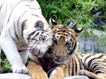 Tiger Lovers